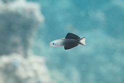 BD-150223-Sharm-6412-Ptereleotris-evides-(Jordan---Hubbs.-1925)-[Blackfin-dartfish].jpg